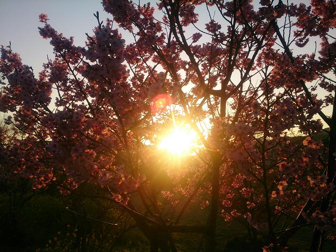 高知もいよいよ桜満開が近づいてきたみたい