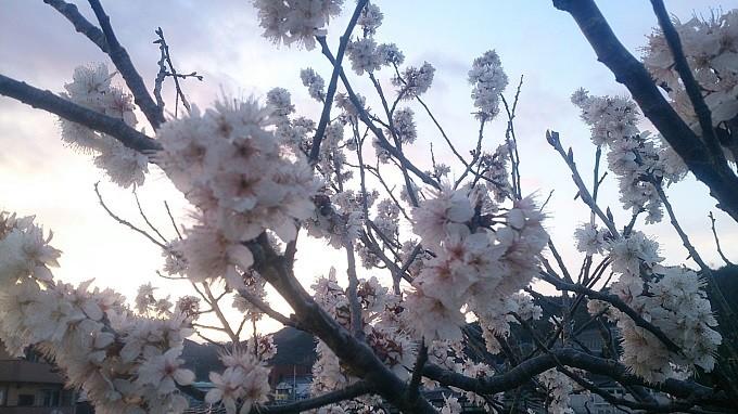 高知県でも所どころ桜が咲き出しています