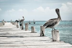 pelican-336583_640