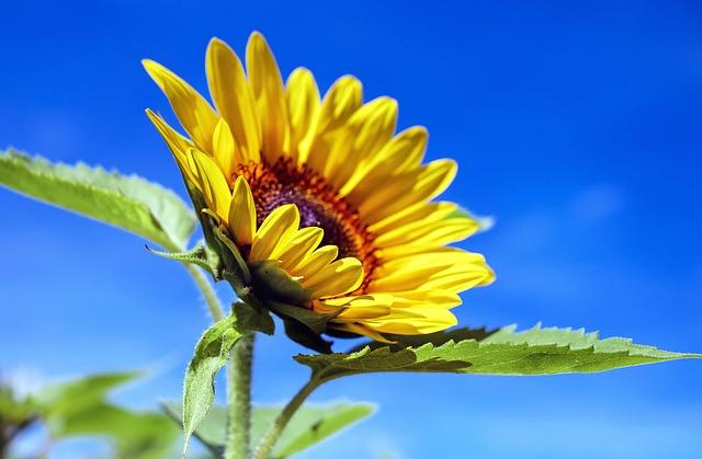 sun-flower-1536088_640 (1)