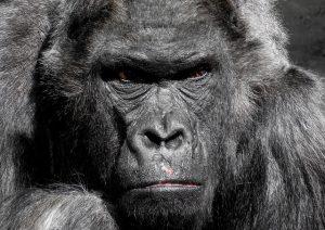 gorilla-752875_640